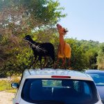 Greek goats go for leaves